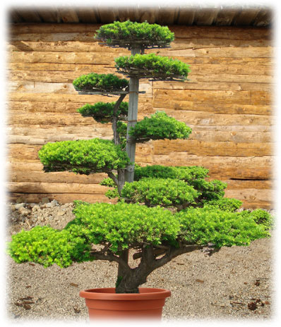 Garden design bons d 39 ext rieur for Arbre bonsai exterieur
