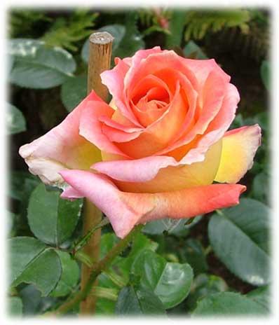 Garden design rosiers grandes fleurs for Fleurs express