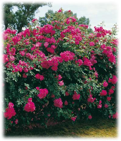 garden design rosiers grimpants. Black Bedroom Furniture Sets. Home Design Ideas
